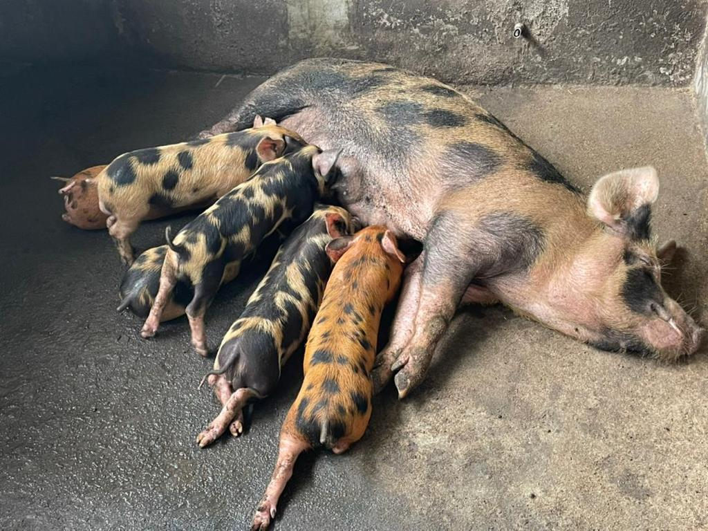 Grippe porcine : La viande de porc absente des plats à Douala.